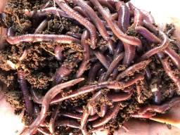 Minhocas ( californianas) para compostagem e chorume e ( violetas do himalaia ) para pesca