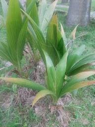 Vendo muda de coqueiro