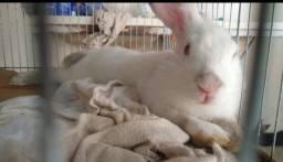 Vendo lindo coelho