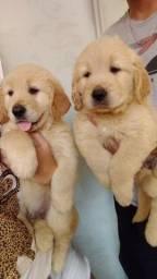 Belissimos filhotes de Golden retriever com 1º dose de vacina e vermifugados