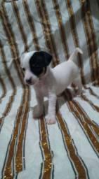 Chihuahua com Pinscher porte pequeno
