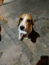 Beagles puro
