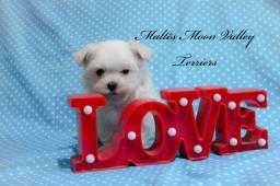 Maltês único cão antialérgico