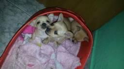 Chihuahua x pinscher