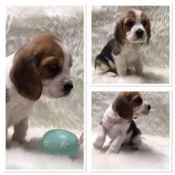 Beagle lindos filhotes disponíveis fêmea e macho