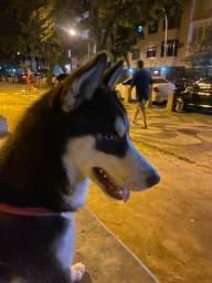 Vendo Husky olho azul marrom
