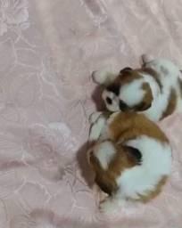 Filhote de shitzu fêmea