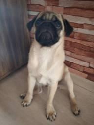 Pug macho 4 meses