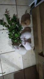 Vendo filhote de coelho de raça Mini Lion
