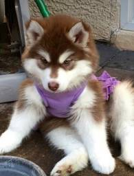 Husky Siberiano Filhote... com Pedigree Recibo Garantia de Saúde