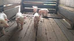 Vendo porquinho 150 cada