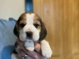 Beagle, machinhos e fêmeas com benefícios e garantias...