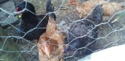 4 galinhas + 1 franga