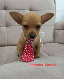 Pinscher macho - amor sem fim