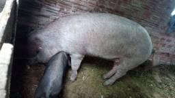Leitoa Moura em torno 150/60 kg