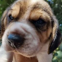 Filhote de Beagle 13 polegadas disponível para reserva