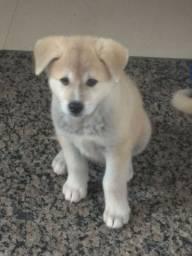 Filhotes Akita Inú promoção,cão d guarda pra sempre a seu lado!