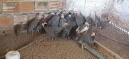 Galinha da Angola Saqué