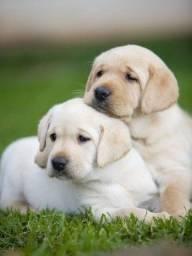 Companheiros!!! Labradores a Pronta Entrega com Pedigree