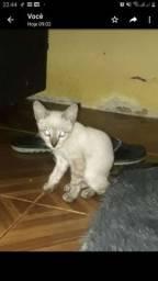 Gato macho Doação