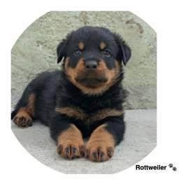 Rottweiler com pedigree e micro chip em até 12x