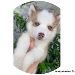 Husky siberiano com pedigree e micro chip em até 12x