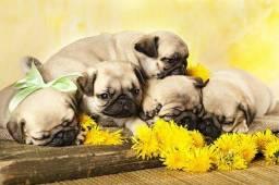 Filhotes de Pug Vacinados (Aceito Cartão)