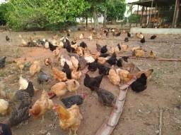 Vendo/troco 200 galinhas poedeiras/corte