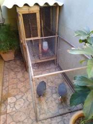 Vende-se casal de galinha Angola!!!