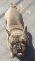 Bulldog Francês jovem para venda