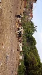 Cabritos cabras angulos