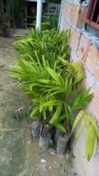 Palmeiras real  e palmeiras cuba