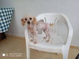 Poodle Toy fêmea Abricot adulta
