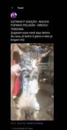 Gato Macho p adoção - peludao e fofinho