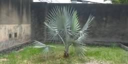 Palmeira Azul, Bismarck
