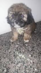 Filhotes cachorro Shihtzu
