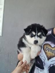 Filhote lindo de Husky siberiano