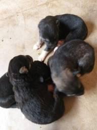 Filhotinhos de pastor com husky para reserva