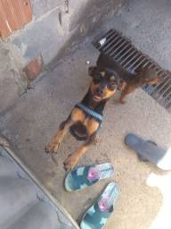 Pinscher macho adulto n 1 original