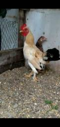 Vendo  dois galo e três galinha garniz