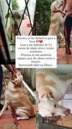 Lion Labrador para adoção