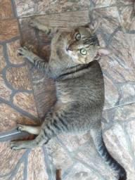 Gato Macho - Adoção Responsável