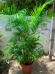 Planta Palmeira + Vaso Grande