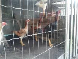 Índio Gigante baixada Santista índios gigantes raça de galos,galinhas,frangos,ovos índios