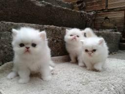 Gatos persa himalaio lindos filhotes promoção de Natal