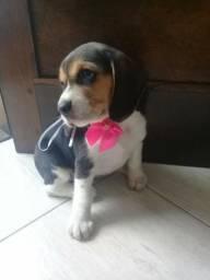 Linda fêmea de Beagle tricolor 12x de 99,00