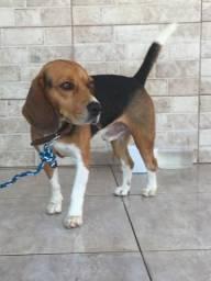 Cachorro da raça Beagle a venda