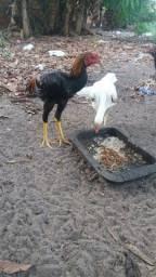 Vendo um frango mora e duas galinha