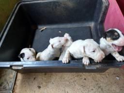 Vendo filhotes de Bull terrier original