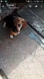 Vendo beagle 11 meses . 1000$